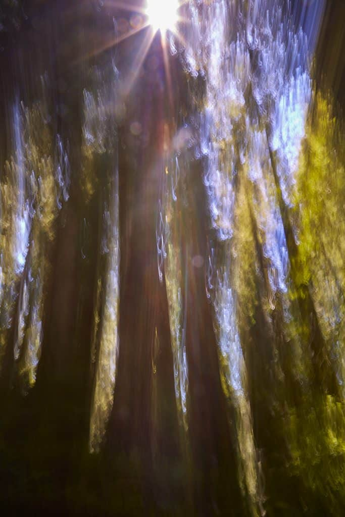 Motion Blur Photo of Redwoods in California Redwood National Park