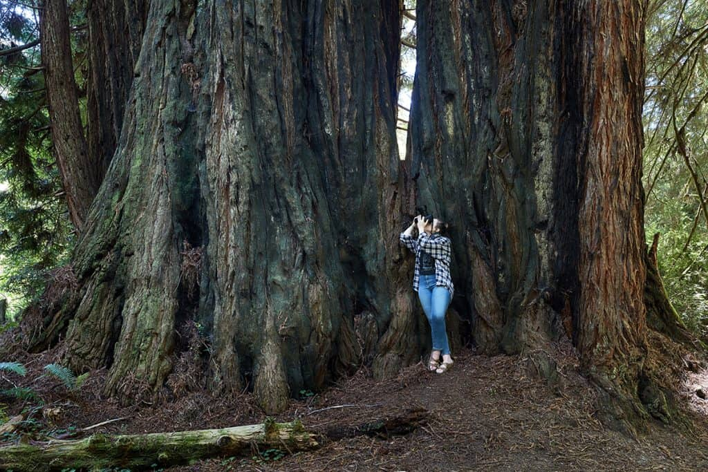 Woman taking a photo of the California Redwoods during our 7000 mile road trip.