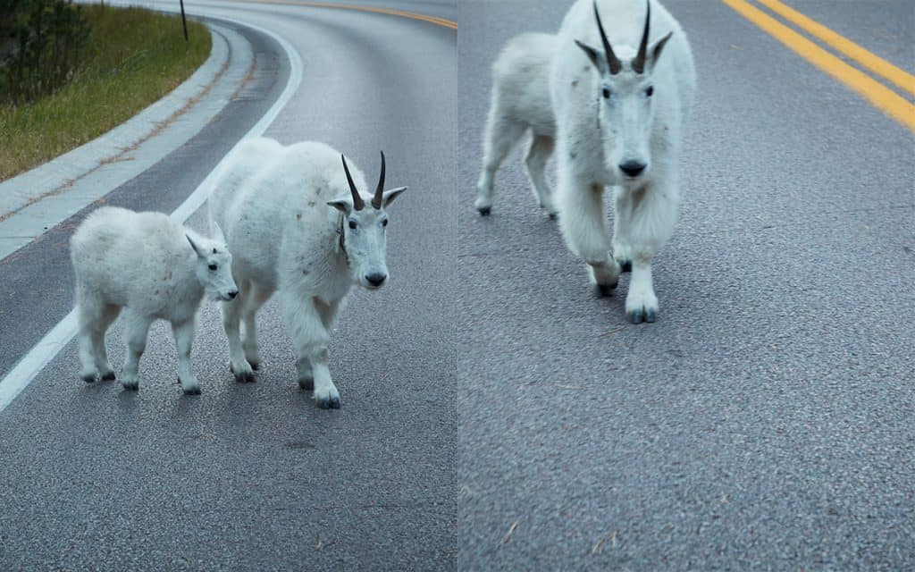 Mountain goat sequence one photographed in the Black Hills of South Dakota photographed by Sioux Falls SD based landscape photographer Paul Heckel