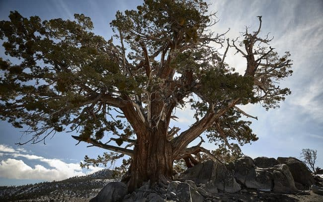 Fine art photograph of a bristlecone pine at June Lake California by landscape photographer Paul Heckel.