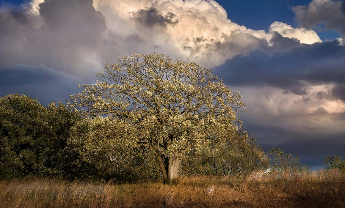 Photograph of a Sioux Falls neighborhood oak tree by landscape photographer Paul Heckel.
