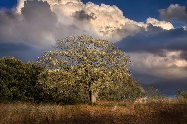 Photograph of a Sioux Falls neighborhood oak tree by landscape photographer Paul Heckel.